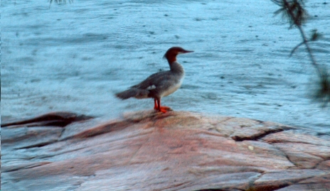 Miffed merganser on our north rock.