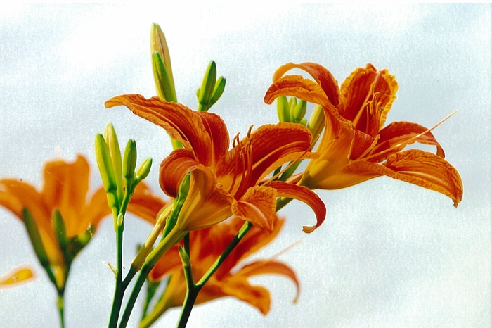 Day Lilies: July spectacle. Photo Bill Munro © 2013