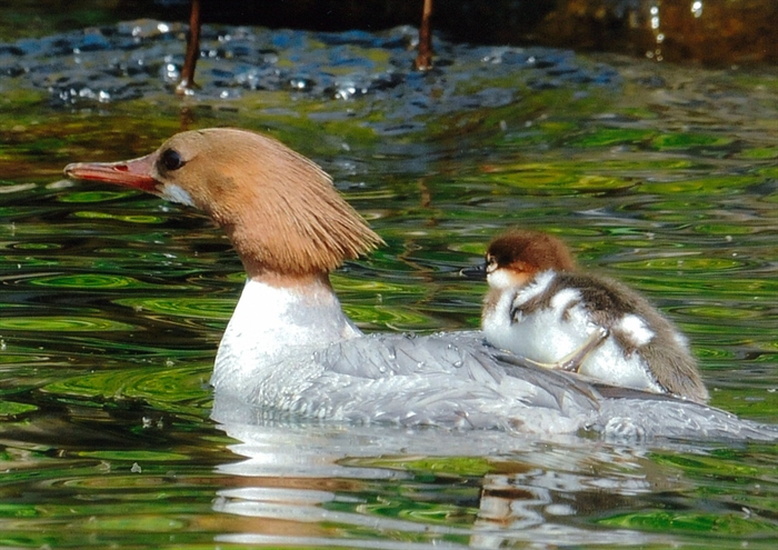 Common Merganser:  Faster! Photo Bill Munro © 2013