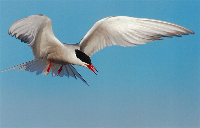 Common Tern:  River favorite. Photo Bill Munro © 2013