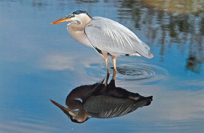 Great Blue heron: Reflecting beauty. Bill Munro © 2013