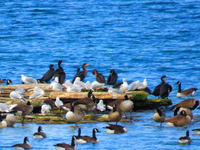 Dennis McCarthy captures everyone together... gulls, geese and cormorants.