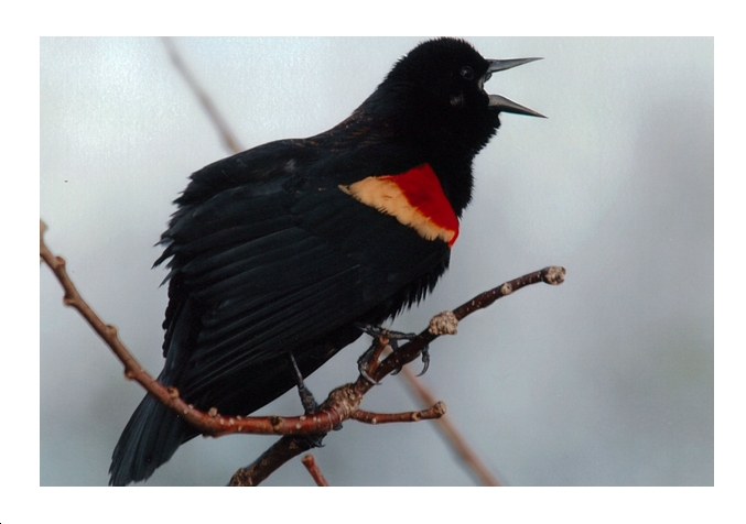 Red Winged Blackbird:  Announcing Spring. Photo Bill Munro © 2013