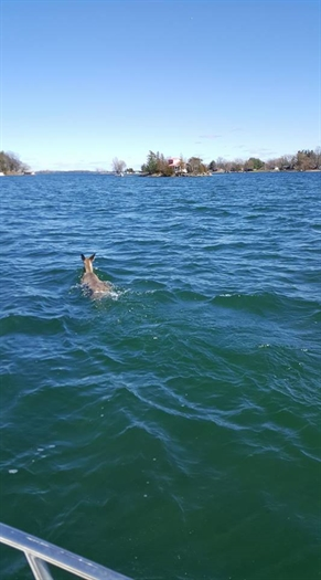 Frank O'Hearn spots a deer swimming away from Hay Island. (Always a thrill) He shared the photo on St. Lawrence River Rats Then and Now Facebook page.