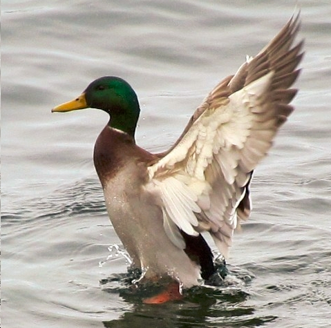 Mallard on a January day 2012. Photo by Dennis McCarthy