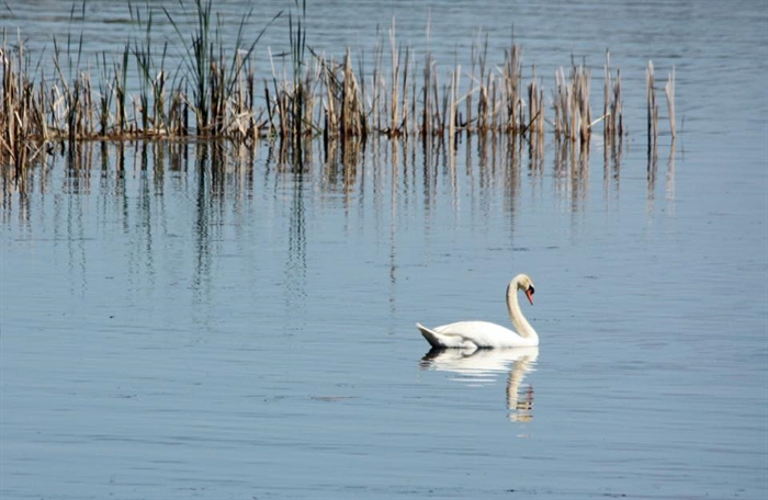 Patti Linder finds a beautiful swan in Goose Bay, Patti she suggests they rename the bay...