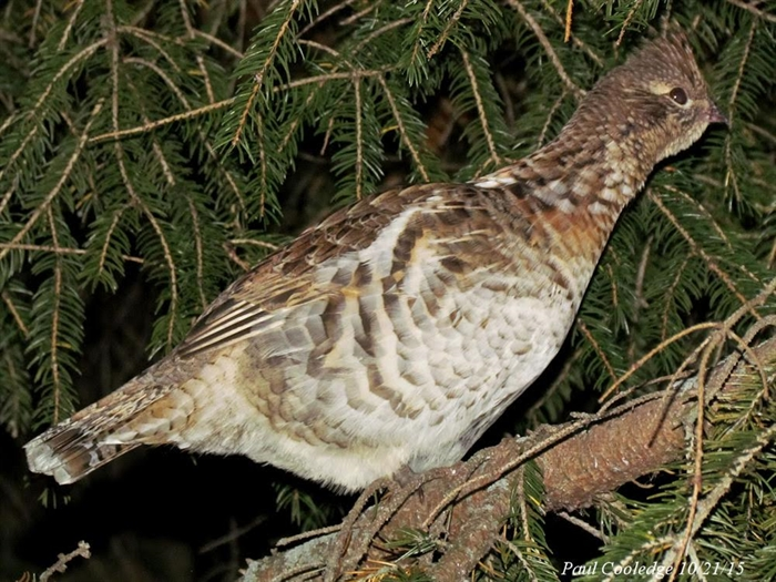 Ruffed Grouse by Paul Cooledge