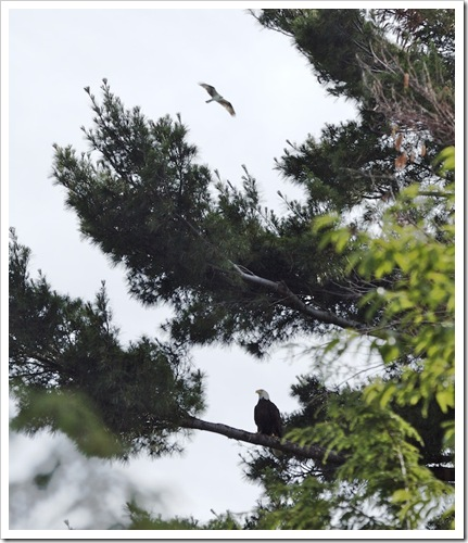 Eagle in a Pine Tree