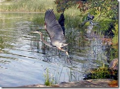 Great Blue Heron JS photo